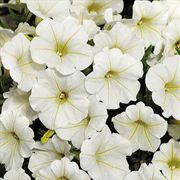 Shock Wave® Coconut Petunia Seeds