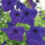 Parks Whopper Hybrid Blue Petunia Flower Seeds