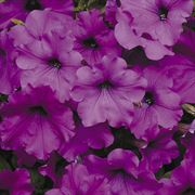 Easy Wave™ Violet Hybrid Petunia Seeds
