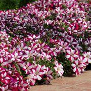 Easy Wave® Burgundy Star Petunia Seeds Alternate Image 1