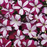 Easy Wave Burgundy Star Petunia Seeds image