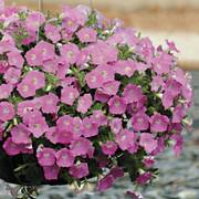 Shock Wave® Pink Shades Petunia Seeds image