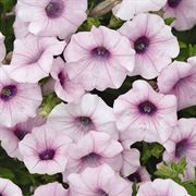 Shock Wave® Pink Vein Petunia Seeds Alternate Image 1