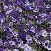 Shock Wave® Denim Shades Petunia Seeds image