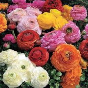 Magic Mix Ranunculus Flower Seeds image