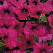 Wave® Purple Improved Hybrid Petunia Seeds