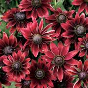Rudbeckia Cherry Brandy Seeds (P) Pkt of 25 seeds image