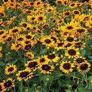 Denver Daisy Rudbeckia Seeds Alternate Image 1