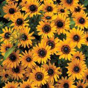Denver Daisy™ Rudbeckia Seeds image
