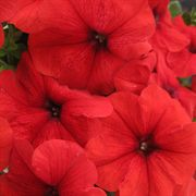 Trilogy Red Petunia Seeds