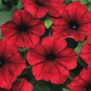 Tidal Wave® Red Velour Petunia Seeds Alternate Image 1