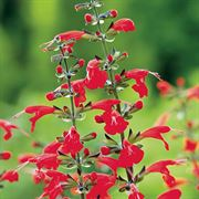Summer Jewel Red Salvia Seeds image