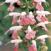 Summer Jewel Pink Salvia Seeds (P) Pkt of 25 seeds image
