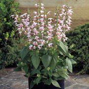 Summer Jewel™ Pink Salvia Seeds Alternate Image 1