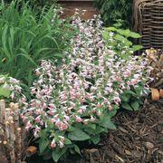 Summer Jewel™ Pink Salvia Seeds Alternate Image 2