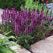 New Dimension Rose Salvia Seeds