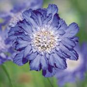 Fama Deep Blue Pincushion Flower