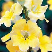 Chantilly Yellow Snapdragon Seeds