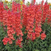 Chantilly Deep Orange Snapdragon Seeds