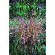 Sirocco Stipa Ornamental Grass Seeds