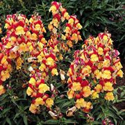 Oriental Lanterns™ Snapdragon Seeds