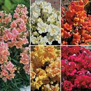Twinny Mix Snapdragon Seeds