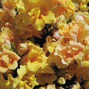 Twinny Yellow Shades Snapdragon Seeds