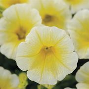 Shock Wave® Yellow Petunia Seeds