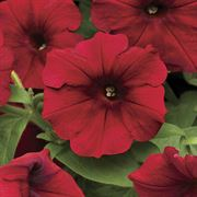 Easy Wave™ Red Velour Petunia Seeds