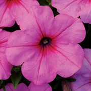 Easy Wave® Pink Passion Petunia Seeds Alternate Image 1
