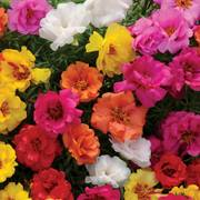Happy Hour™ Mix Portulaca Seeds image