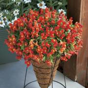 Candy Showers Orange Snapdragon Seeds