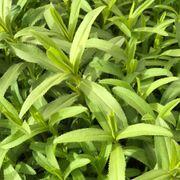 Mexican Organic Tarragon Seeds Alternate Image 1