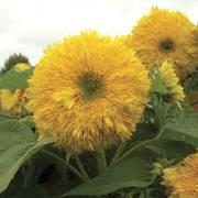 Superted Hybrid Sunflower Seeds image