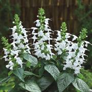 Summer Jewel White Salvia Seeds