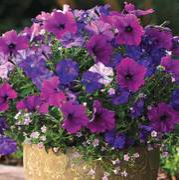 Fuseables® Healing Waters Petunia-Bacopa Seeds Alternate Image 1