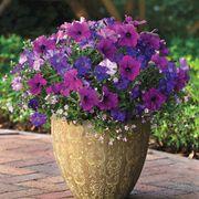 Fuseables® Healing Waters Petunia-Bacopa Seeds Thumb