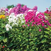 Bees Bouquet Hardy Phlox Seeds