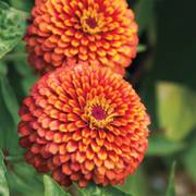 Crouching Tiger Zinnia Seeds (P) Pkt of 50 seeds image