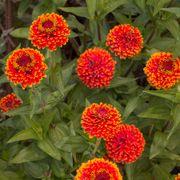 Crouching Tiger Zinnia Seeds Alternate Image 4