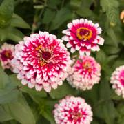 Hidden Dragon Zinnia Seeds (P) Pkt of 50 seeds image