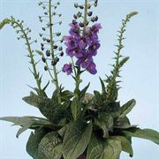 Temptress Purple Verbascum Seeds