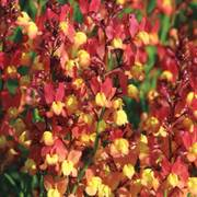 Licilia Peach False Snapdragon Seeds image