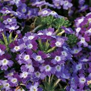 Obsession Twister Purple Verbena Seeds image