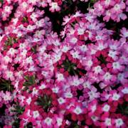 Obsession Twister Red Verbena Seeds image