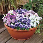Admire® Spring Fling Mix Viola Seeds image