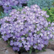 Tuscany® Lavender Picotee Verbena Seeds image