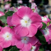 Mega Bloom Pink Halo Vinca Seeds image