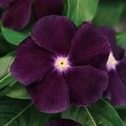 Jams 'N Jellies Blackberry Vinca Seeds (P) Pkt of 20 seeds image