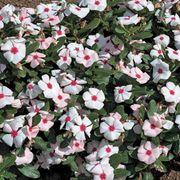 Cora™ Apricot Vinca Flower Seeds